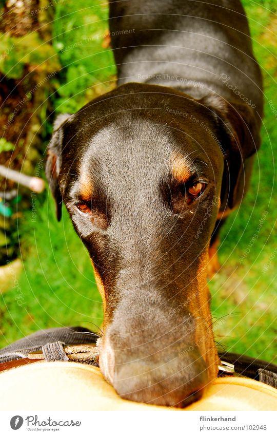 hundeschlange Sommer Tier Auge gelb Gras Hund Nase Nase verrückt Fröhlichkeit Sicherheit T-Shirt lang Müdigkeit dumm Bauch