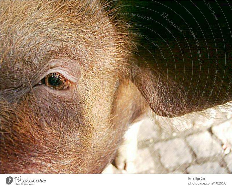 Braunauge Schwein braun Borsten Wimpern Sonnenstrahlen Tier Säugetier Haare & Frisuren Ohr pPlastersteine Blick Auge