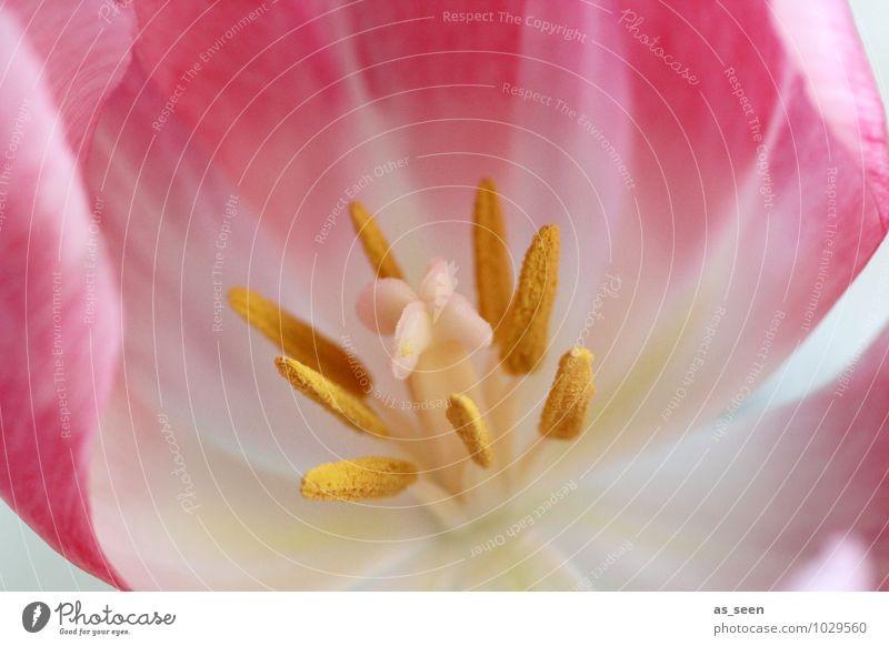 Inside elegant schön Wellness Valentinstag Blume Natur Pflanze Frühling Tulpe Blüte Blütenblatt Blütenstempel Staubfäden Pollen Fruchtbarkeit Blühend leuchten