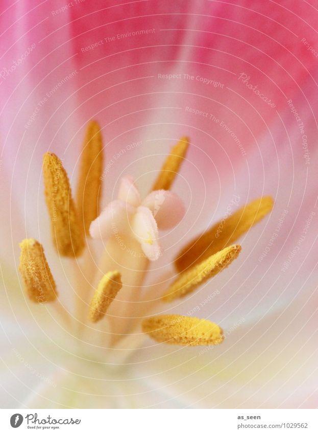 Verführung elegant schön Leben Duft Floristik Pflanze Frühling Sommer Blume Blüte Pollen Blütenstempel Staubblätter Blütenkelch Blütenblatt fruchtbar Blühend