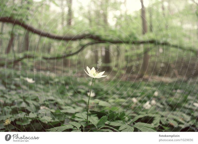 allein im Wald Natur Pflanze Einsamkeit Blume ruhig Blüte Frühling klein elegant Lebensfreude Vergänglichkeit einzigartig Wandel & Veränderung Hoffnung