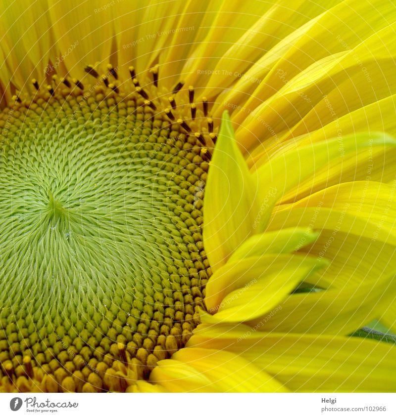 Detail einer Sonnenblume mit hervorragenden Blütenblättern Blume Blütenblatt gelb grün braun Kerne Sommer Juli strahlend Muster rund gekrümmt vertikal
