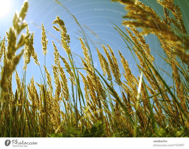Wiese Himmel blau Sommer Gras träumen Wind Rücken Frieden liegen sanft Süßgras