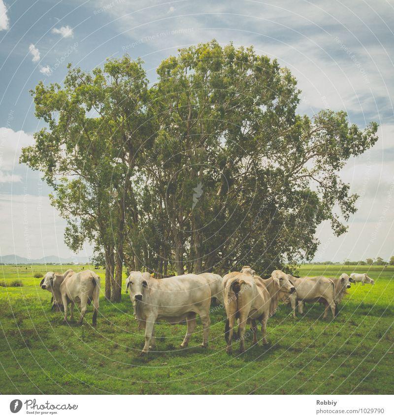 Muuuhhhhh!?! Baum Weide Nutztier Kuh Rind Rinderhaltung Rinderbraten Tiergruppe Herde Blick stehen frisch Glück natürlich grün Gelassenheit nachhaltig Natur