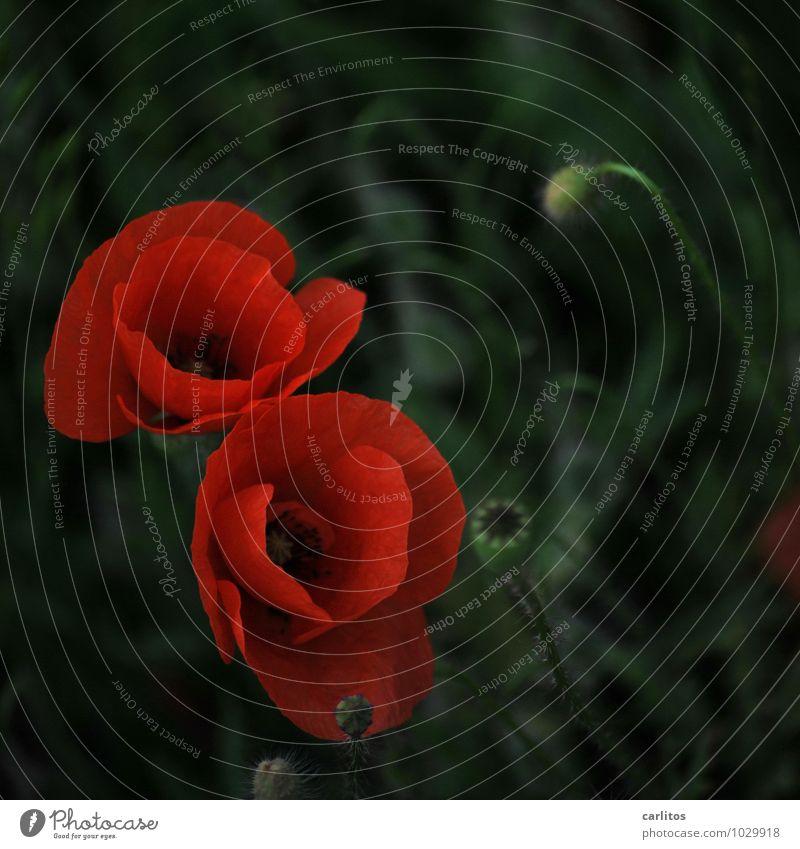 Mohntag 1 rot Blume Blüte Samen Blütenblatt grün dunkel