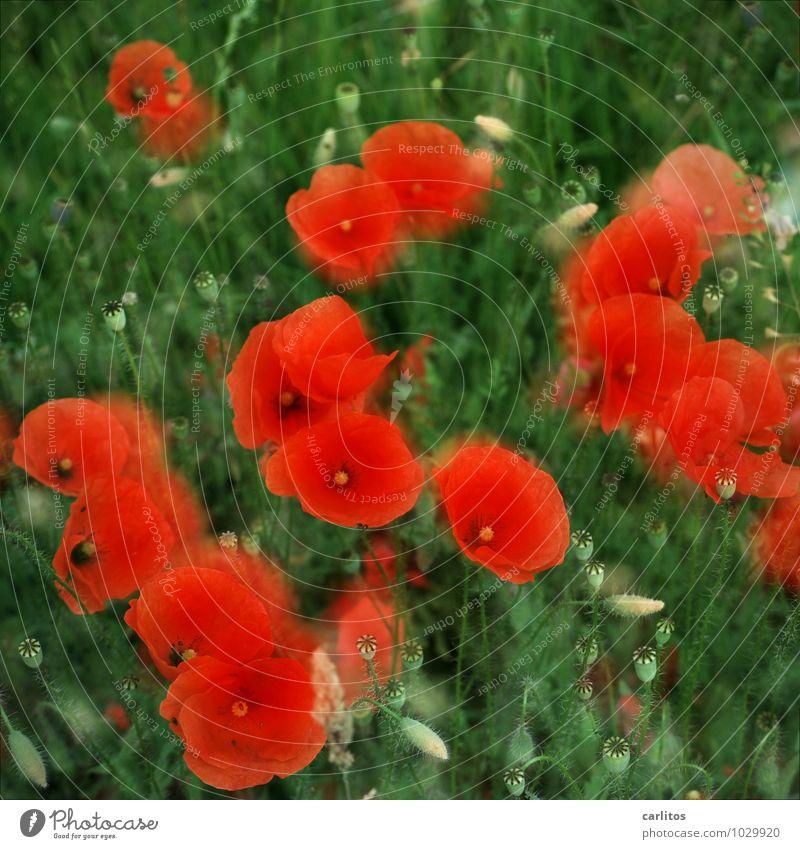 Mohntag 2 grün Blume rot Blüte Blütenblatt Doppelbelichtung Kapsel