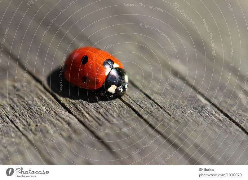 Ladybug Tier Käfer 1 krabbeln klein rot schwarz Glück Marienkäfer Punkt Farbfoto Außenaufnahme Makroaufnahme Menschenleer Textfreiraum rechts Textfreiraum oben