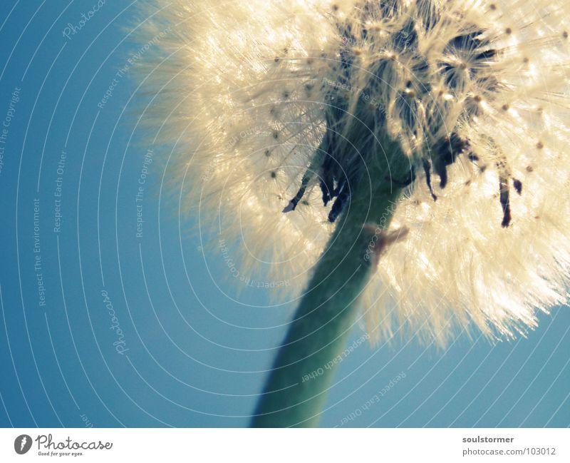 Bitte einmal pusten! grün weiß blau schön Sonne grau Frühling Mund Stengel Löwenzahn blasen silber Samen säen Fortpflanzung Spermien