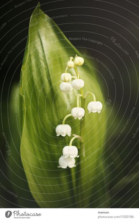 Maiglöckchen Natur Pflanze Blume Blüte Frühling Gesundheit gefährlich bedrohlich Duft Gift Frühlingsblume Giftpflanze