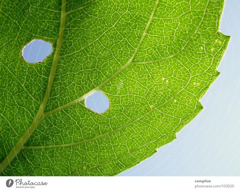 Strange Form Of Life Natur Baum grün Pflanze Ecke Sträucher Loch Gefäße Blauer Himmel Durchblick Blattadern Wurm himmelblau