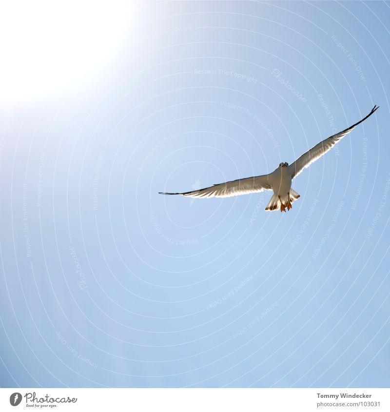 Mövenpic II Möwe Vogel himmelblau Frieden Sonne Sommer Meer See Schweben Segeln Tiefflieger Leichtigkeit Unbeschwertheit Nahrungssuche Luftverkehr flugtauglich
