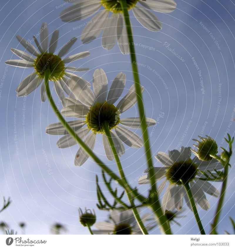 Nahaufnahme von Margariten aus der Froschperspektive vor blauem Himmel Blume Blüte Kamille Blütenblatt Stengel Wolken grün weiß gelb Blühend Feld Heilpflanzen