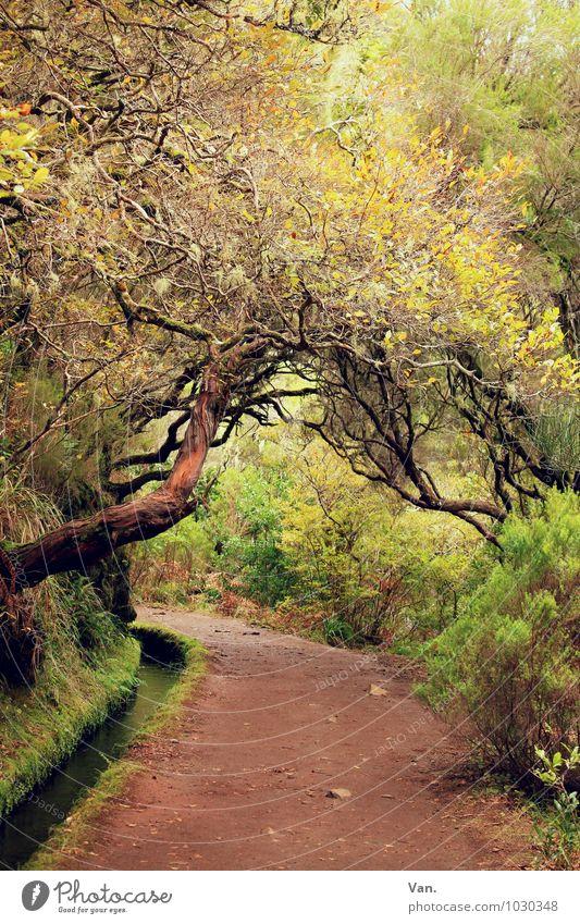 Levada Natur Landschaft Pflanze Herbst Baum Sträucher Moos Wald Madeira Wege & Pfade braun gelb grün Farbfoto mehrfarbig Außenaufnahme Menschenleer Tag