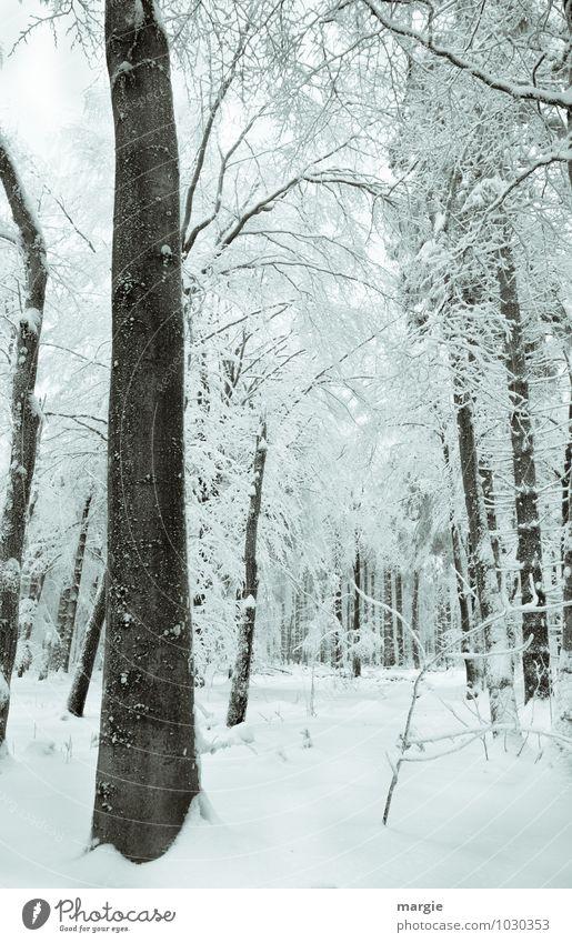 Verschneiter Winterwald Umwelt Natur Landschaft Klima Klimawandel Eis Frost Schnee Schneefall Grünpflanze Wald weiß Gefühle Stimmung Romantik Einsamkeit
