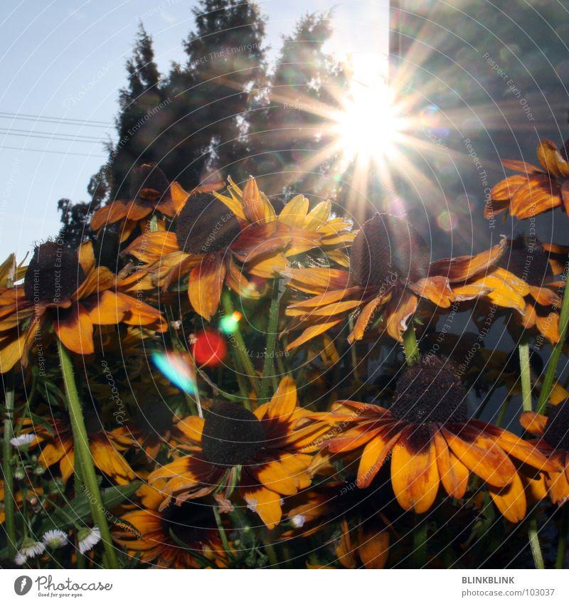 sonnenblumen Blume Sonnenblume gelb Sommer grün schön Blüte Pflanze Blende Beleuchtung blenden Natur Himmel Blühend blau Sonnenhut sun flower sunflower shine