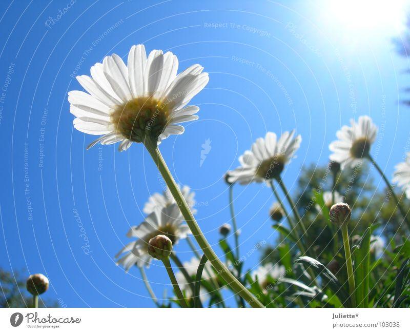 Käferperspektive III Blume süß schön weiß grün gegen Beleuchtung Sommer Magaritten blau Sonne Himmel