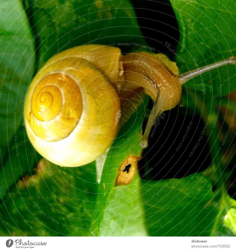 ...hey schneckal...! grün Sommer Blatt Haus Tier Auge gelb Garten braun Ohr durchsichtig Schnecke Fühler kleben Tarnung Schneckenhaus