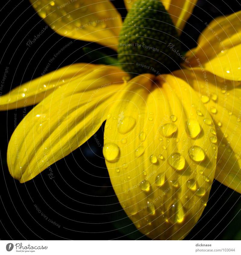 Gelb auf Schwarz Wasser Blume Sommer schwarz gelb Wassertropfen Seil Falte Flowerpower