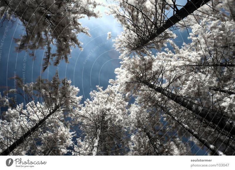 Baumkronen Himmel weiß rot schwarz Wolken Wald Schnee Wiese Gras träumen Wege & Pfade Denken lustig groß hoch
