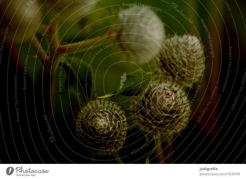 Wiese Distel Große Klette Pflanze Stengel braun schwarz Sommer Umwelt Wachstum gedeihen schön Farbe Stachel Spitze Wildtier Natur einfach Heilpflanzen Unkraut