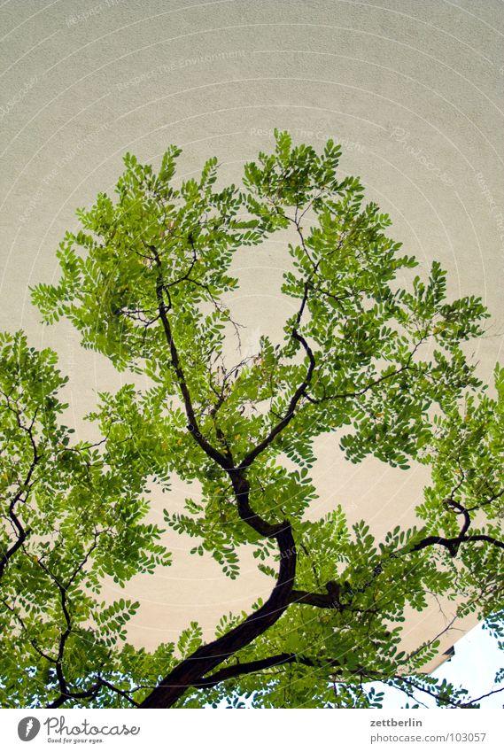 Robinie Baum Pflanze Sommer Blüte Wachstum Klima Ast Japan Baumstamm Zweig Blütenknospen Klimawandel verzweigt Reifezeit Schöneberg