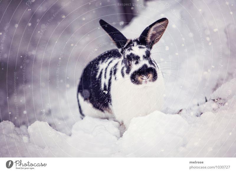 Schneehase Flecki weiß Erholung Tier Winter schwarz Umwelt grau Schneefall Zufriedenheit Lächeln Schönes Wetter Freundlichkeit Pause Fell Haustier