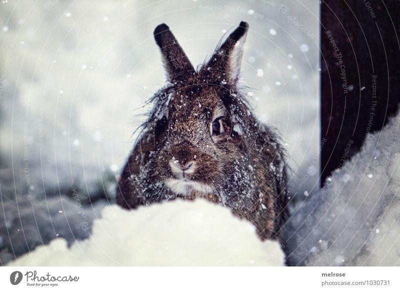 Schneehase Schnuffi Umwelt Natur Winter Schneefall Haustier Tiergesicht Fell Zwergkaninchen Löwenkopf Hasenohren Schnauze Schnurrhaar Nagetiere Osterhase
