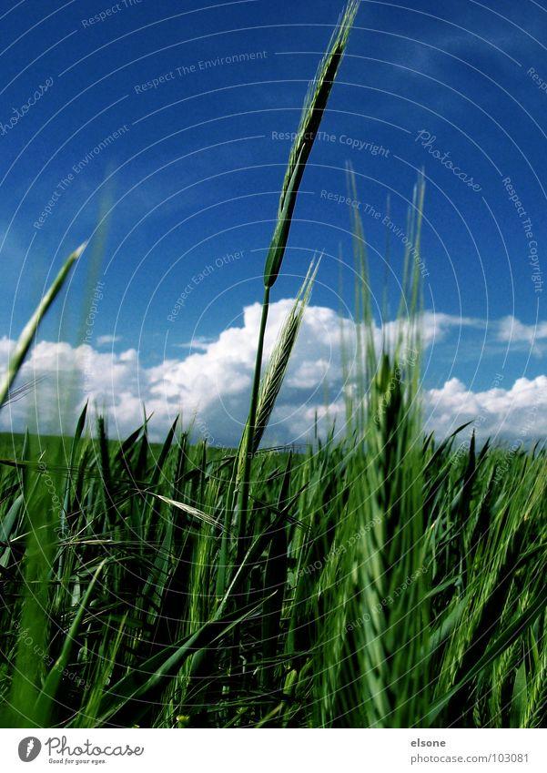 FELD Himmel grün blau Pflanze Sommer Ernährung Feld Lebensmittel frisch Getreide Landwirtschaft Riesa