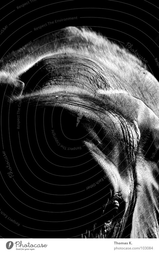 Greyscaled Babygiant weiß schwarz Tier Haare & Frisuren grau Haut Macht Afrika Elefant Rüssel