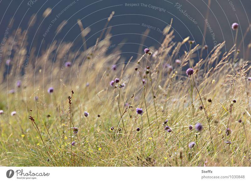 schottische Gewächse Natur Pflanze Sommer Blume Landschaft gelb Wiese Gras Wind Klima dünn violett Schottland Norden Wildpflanze nordisch