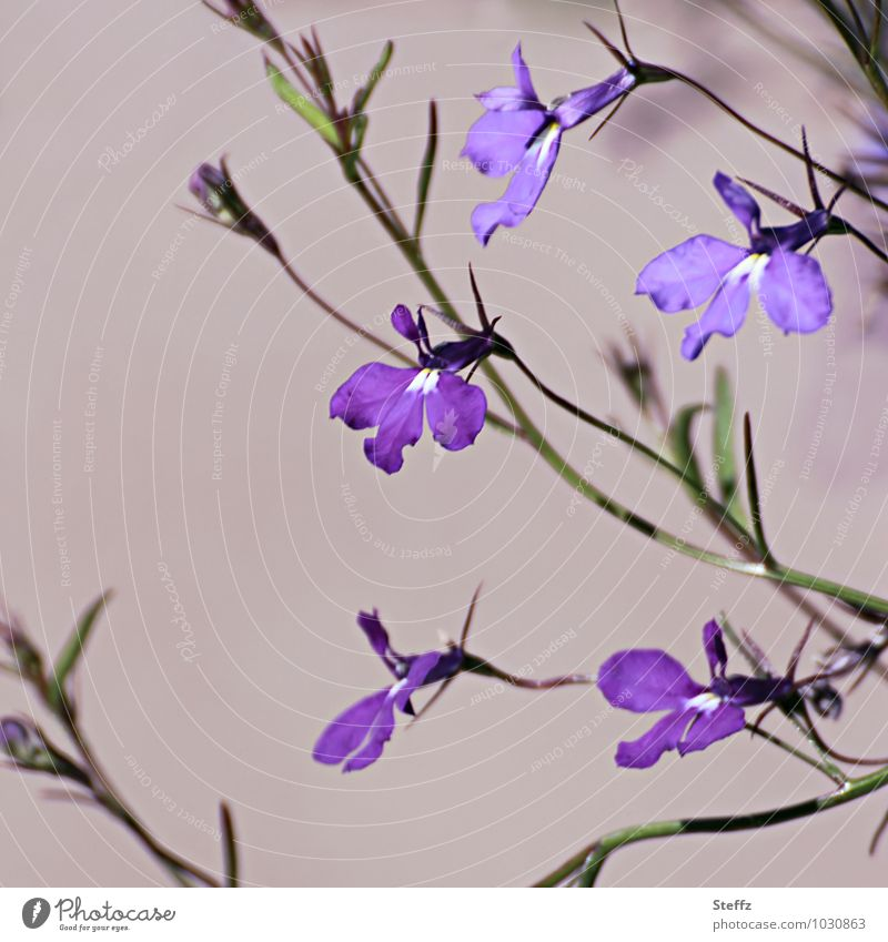 Veilchen in Schottland Viola blühende Veilchen schottische Natur nordische Natur nordische Pflanzen nordische Wildpflanzen nordische Wildblume lila Blüten