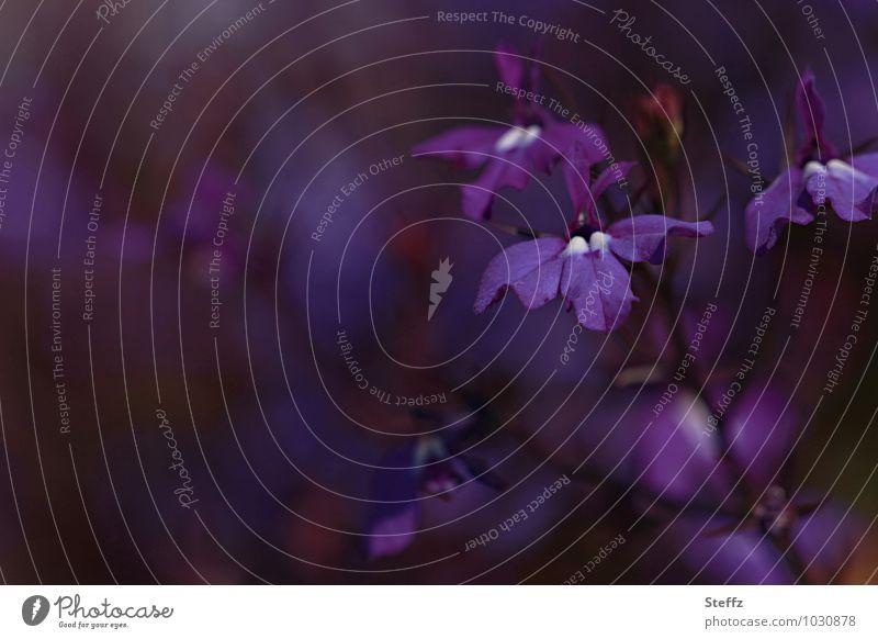Der Duft der Veilchen Natur Pflanze schön Sommer Blume Traurigkeit Stimmung Blühend Romantik violett Norden nordisch Blütenpflanze Duftveilchen Wildpflanze