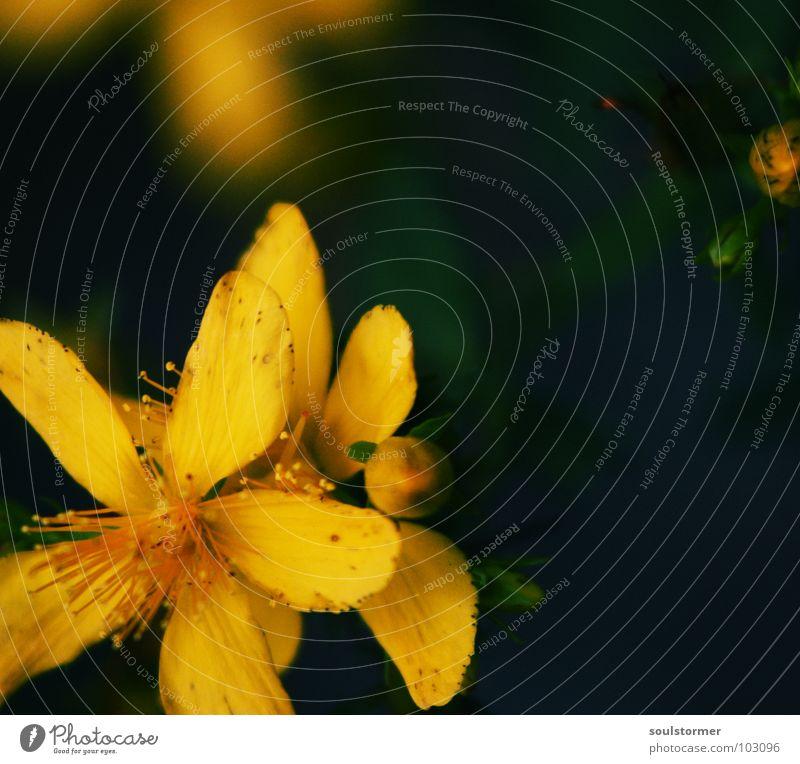 Flower... alt Blume grün Pflanze gelb Leben Tod Blüte Beginn neu Ende Vergänglichkeit Pollen Lebenslauf