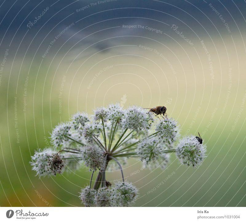 Sommerzeit Natur Pflanze blau grün weiß Blume Landschaft Tier Wiese natürlich fliegen Wildtier Fliege Fröhlichkeit Flügel