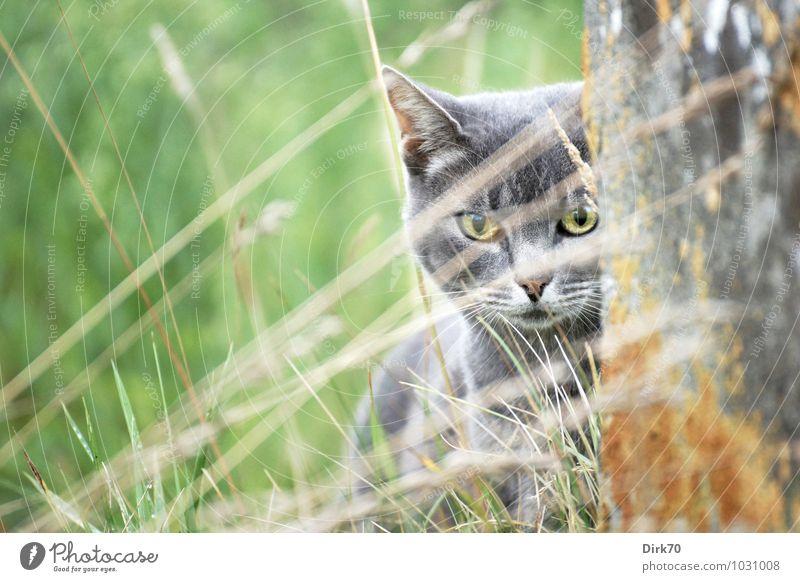 Aus der Deckung Umwelt Gras Halm Flechten Garten Mauer Wand Betonmauer Tier Haustier Katze Tiergesicht 1 bedrohlich listig Neugier klug wild braun gelb grau