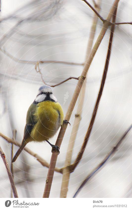 Kletterkünstler Umwelt Natur Tier Winter schlechtes Wetter Sträucher Zweig Park Wald Wildtier Vogel Meisen Blaumeise Singvögel 1 schaukeln frech hell kalt klein