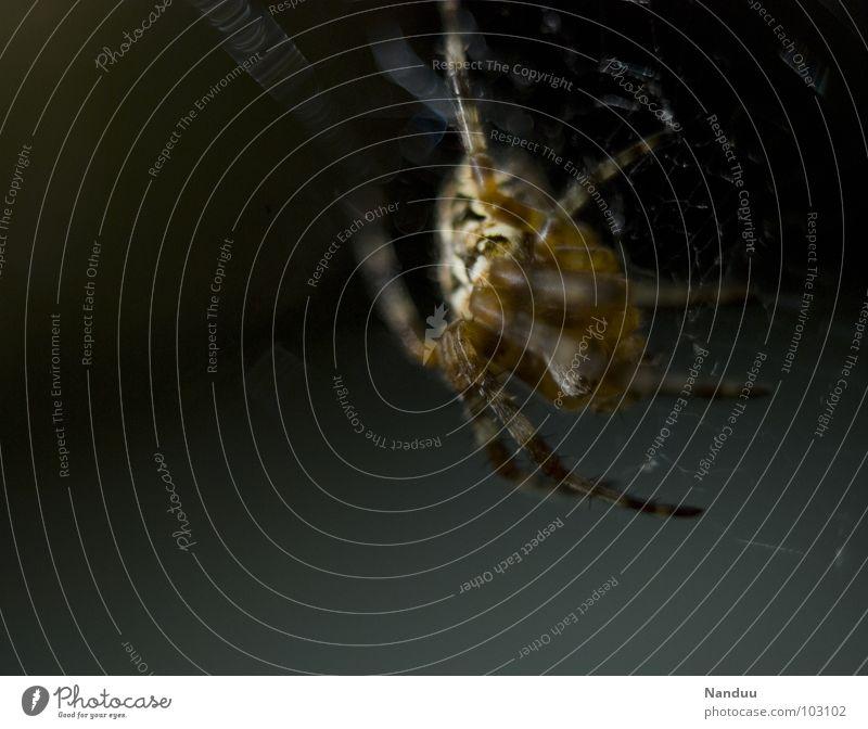 ich bin Dein Albtraum... schön ruhig Sommer Natur Tier Spinne krabbeln Ekel Angst Respekt Kreuzspinne Gliederfüßer bissig Gift böse nützlich einheimisch Bayern