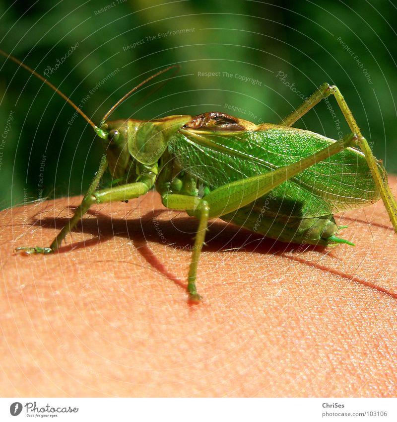 Grünes Heupferd  01 (Tettigonia viridissima) grün Sommer Tier springen Gras Beine Insekt Lebewesen Fühler hüpfen Heuschrecke Nordwalde Heimchen