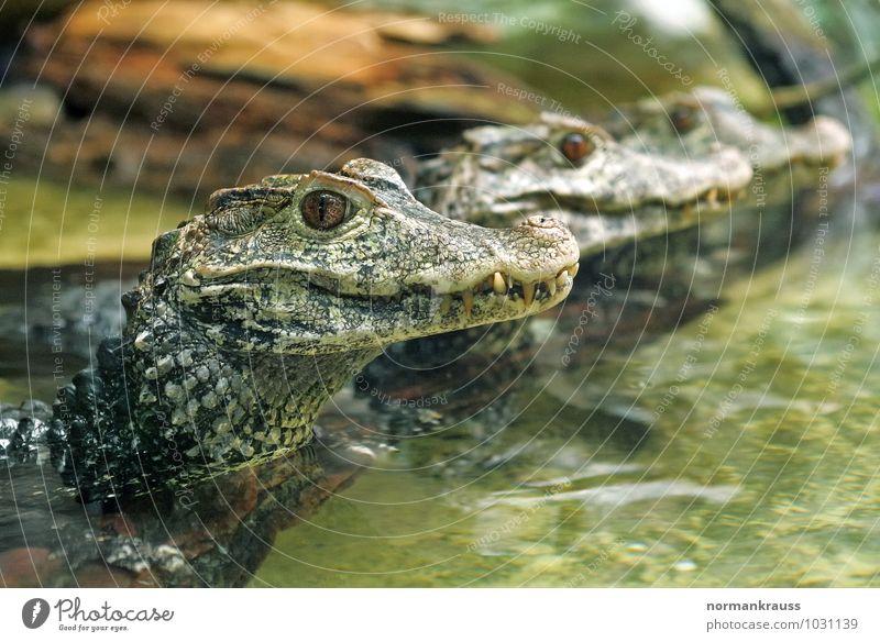 Kaimane Tier Wildtier Schuppen Reptil Panzerechse Echse Echsen 3 beobachten exotisch grün Panzerechsen Farbfoto Innenaufnahme Nahaufnahme Textfreiraum rechts