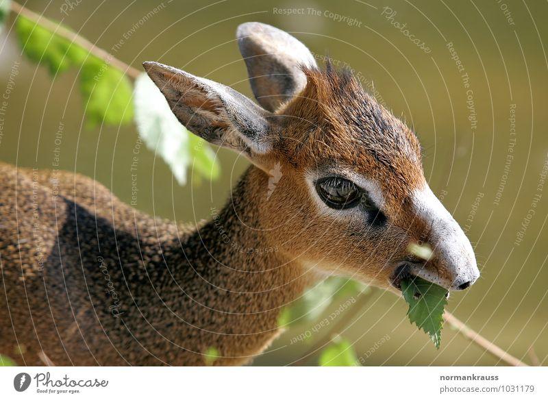 Zwergrüsseldikdik Tier braun Tiergesicht Fressen Nervosität