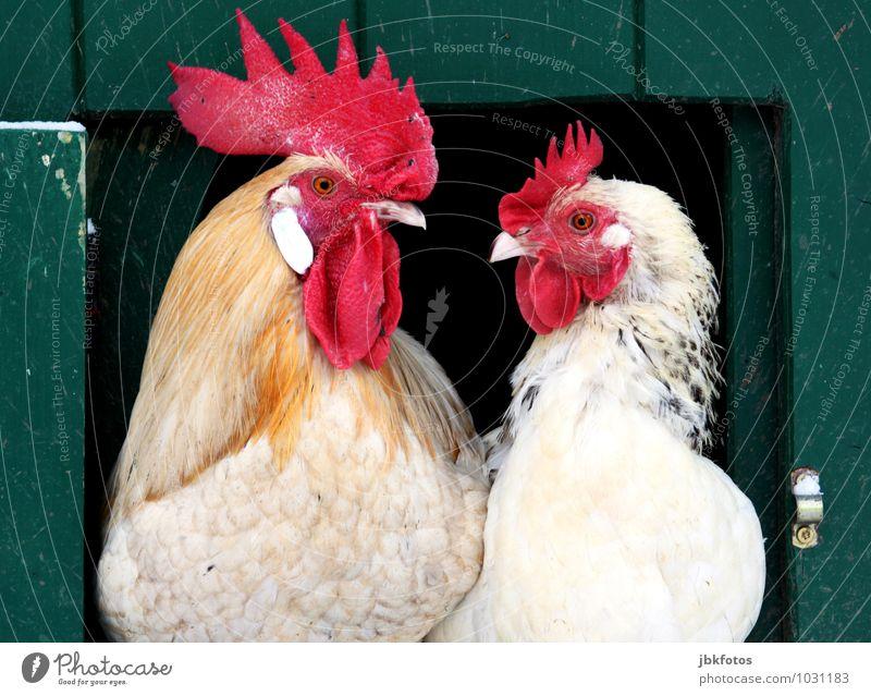 Hier kommst Du net rein! Umwelt Natur Tier Nutztier Vogel Tiergesicht Hahn Haushuhn Tierpaar Kamm Auge Hühnerstall Federschmuck 2 authentisch Landwirtschaft