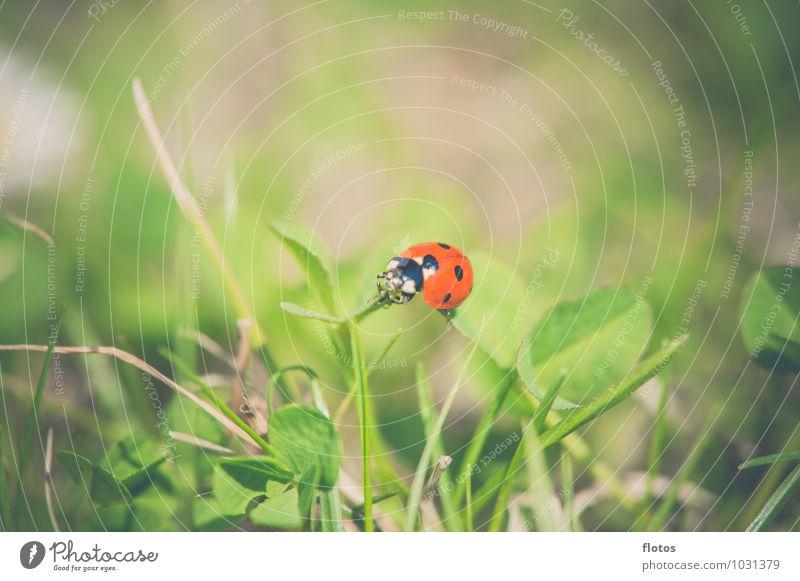 rot-schwarz Natur Sommer Schönes Wetter Gras Wiese Tier Wildtier Käfer krabbeln natürlich braun grün Tierliebe ruhig Farbfoto Außenaufnahme Nahaufnahme