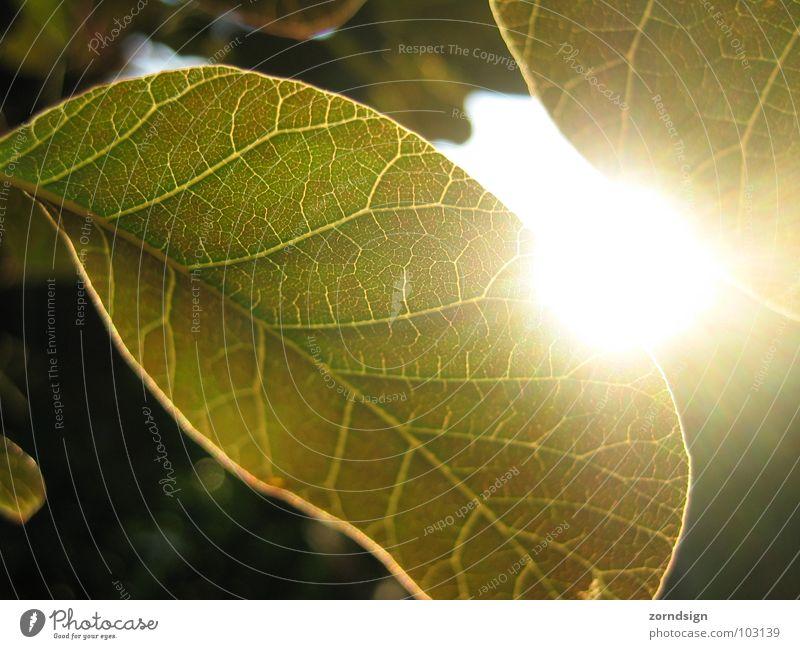 Sonnenblatt grün Baum Sonne Sommer Blatt Erholung Garten Park Sträucher Abenddämmerung Gefäße Grünpflanze