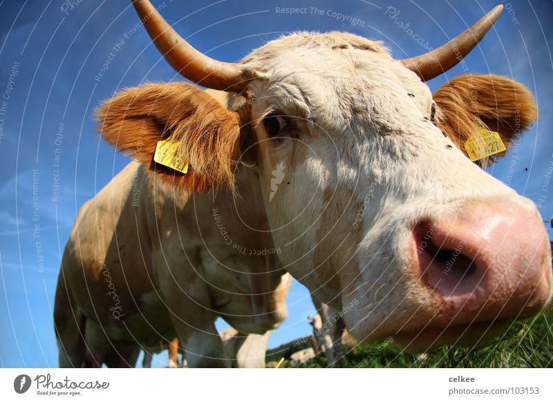 von schräg unten Himmel blau Auge Nase fliegen Nase Kuh Horn Säugetier Tier Rind