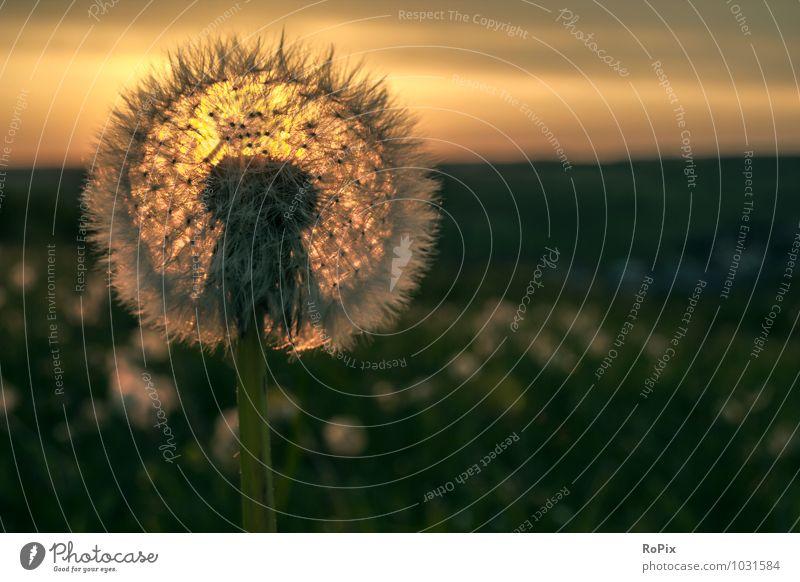 Pusteblume Umwelt Natur Landschaft Pflanze Himmel Wolken Horizont Sonne Sonnenaufgang Sonnenuntergang Sonnenlicht Sommer Schönes Wetter Blume Wildpflanze