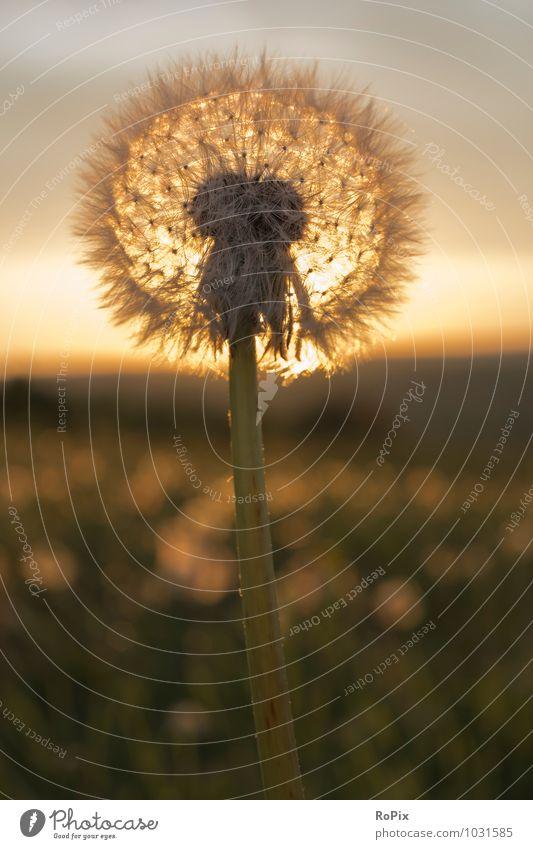 Abendstimmung Natur Pflanze Sommer Sonne Erholung Blume Landschaft Wärme Gefühle Wiese Glück Stimmung liegen Feld leuchten Wachstum