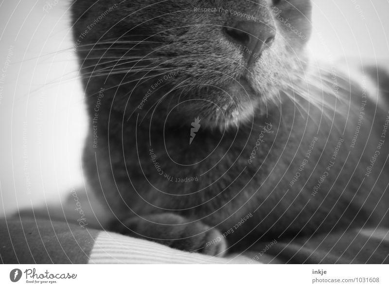 monsieur hat geschlabbert Katze Erholung Tier grau liegen Zufriedenheit Wassertropfen nass nah Tiergesicht Haustier hocken Schnurrhaar klecksen sabbern
