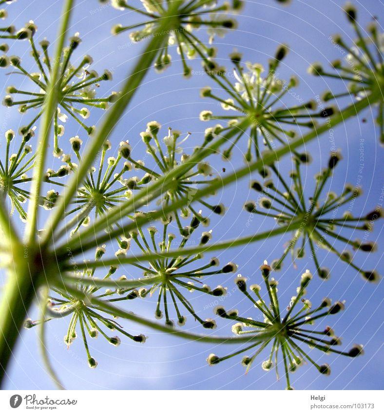 Stengel mit Blüten einer wilden Möhre aus der Froschperspektive vor blauem Himmel Blume Pflanze Wiese Wegrand Blühend emporragend grün weiß Wachstum gedeihen