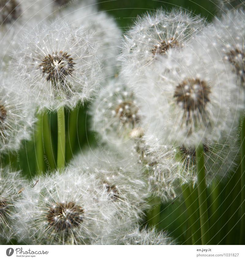vorher Erntedankfest Umwelt Natur Pflanze Frühling Sommer Blume Blüte Wildpflanze Löwenzahn Taraxacum officinale Wiese Blühend Wachstum grün weiß Fröhlichkeit