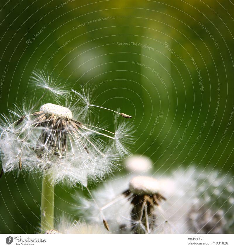 nachher Feste & Feiern Muttertag Geburtstag Natur Pflanze Frühling Sommer Klima Blume Wildpflanze Taraxacum officinale Löwenzahn Wiesenblume Blumenwiese Blühend
